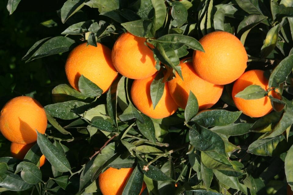L'albero dai frutti d'oro:l'arancio