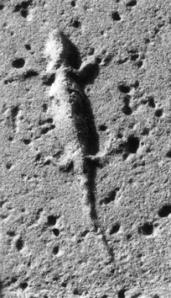 La lucertola che richiama il nome di Vermexio