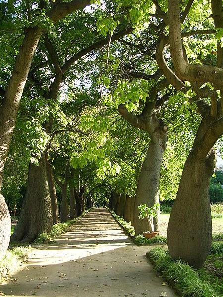 L'albero bottiglia(Chorisia speciosa)
