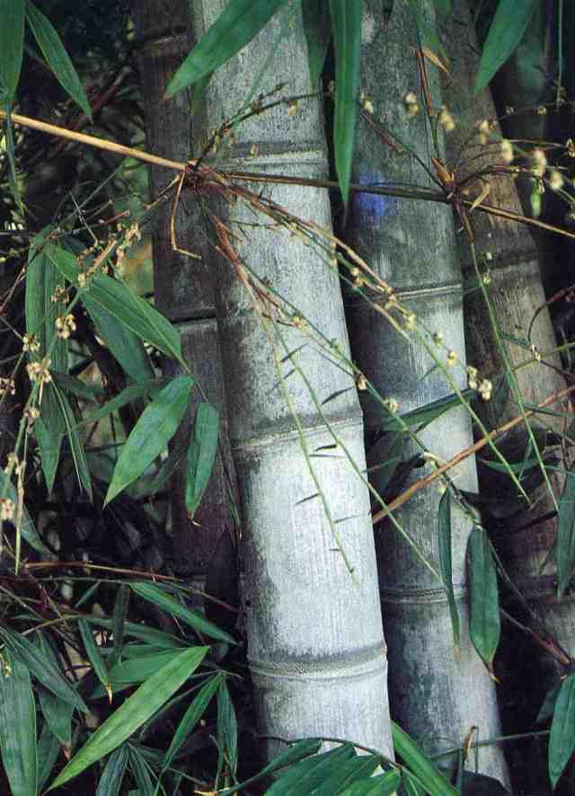 Bambù in fiore