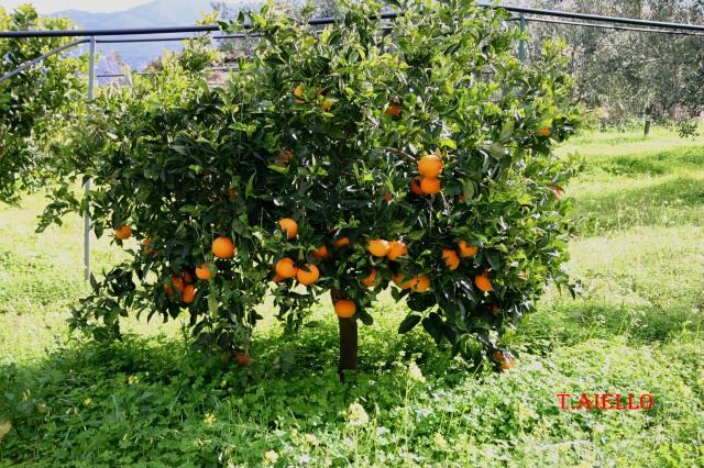 -Albero di arancio in produzione.