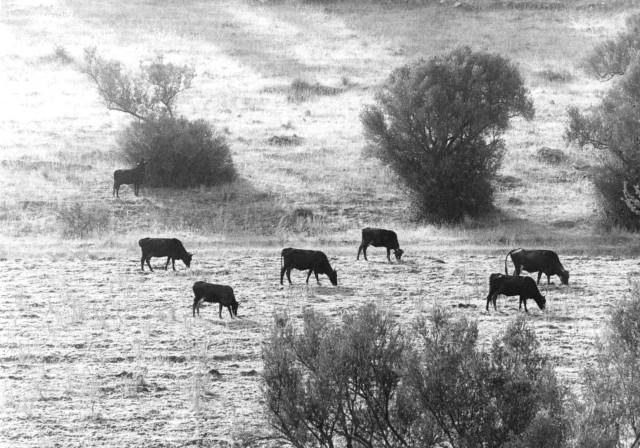 Mucche al pascolo.   Foto di T.Aiello(1974)