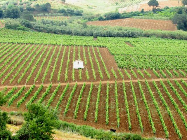 Filari di vigne.Foto di Aiello