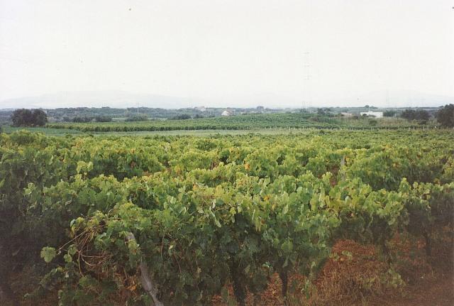 Terre coltivate a vigneto,foto di T.Aiello