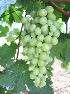 Uva bianca e uva nera. Foto di T. Aiello